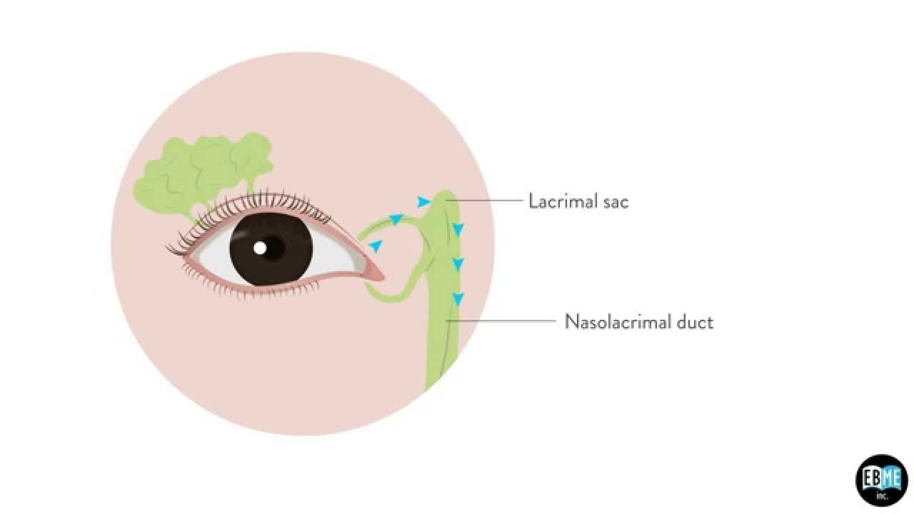 Eye Anatomy Chapter 8 : The Lacrimal Gland - YouTube