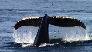 10.5.15 Humpback Whales & Risso