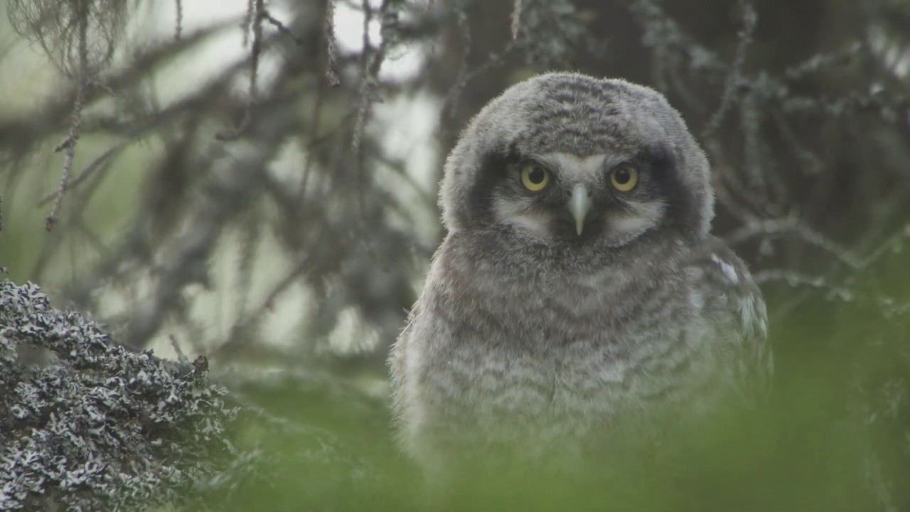 Funny owlets leave nest