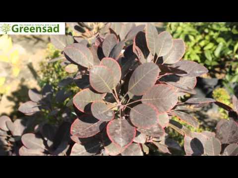 Скумпия (растение) – полезные свойства и применение