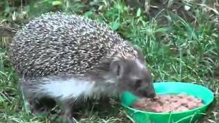 Jeż w moim ogródku