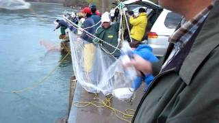 Awesome Dip net and Lift net massive smelt fishing at Niagara river