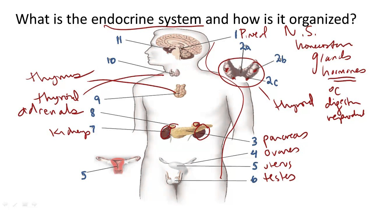 Endocrine System Structure And Function Youtube