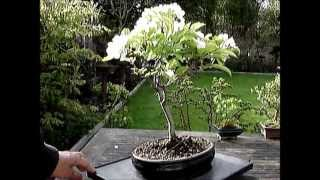 Bonsai Apple Trees in Blossom