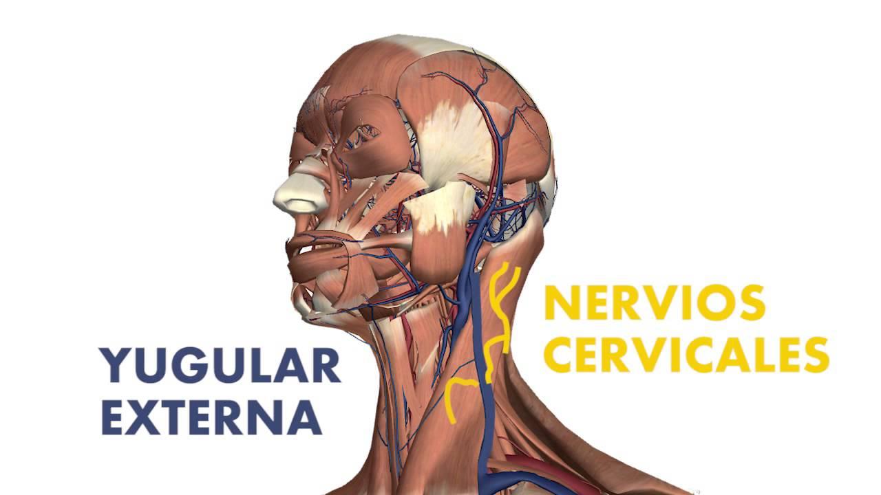 3D] Músculos superficiales del cuello - Esternocleidomastoideo y ...