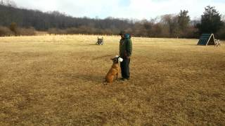 Malinois Dumbbells Dog Training Schutzhund Ipo