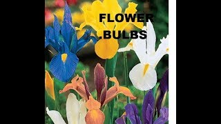 How to grow dutch iris flower bulbs (beautiful flower)