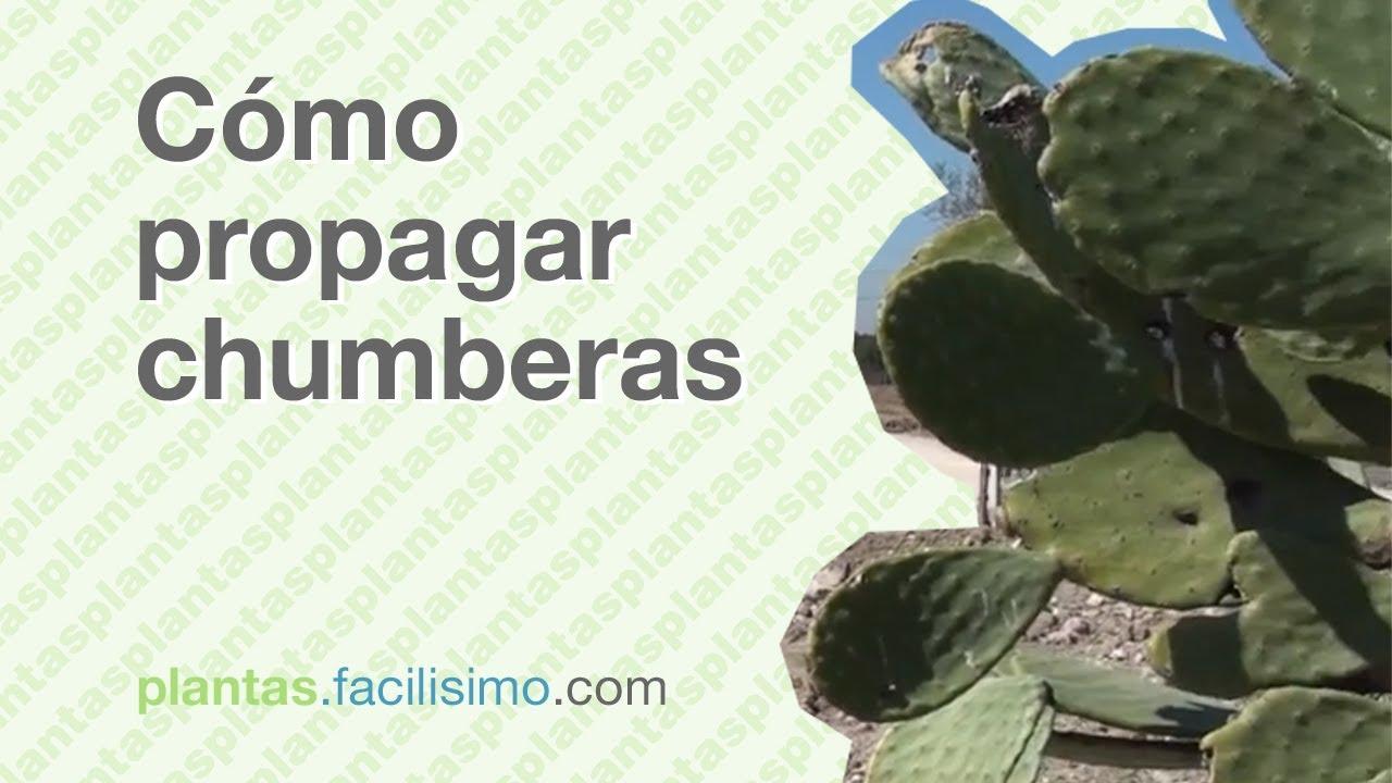 C mo propagar chumberas youtube - Como transplantar cactus ...
