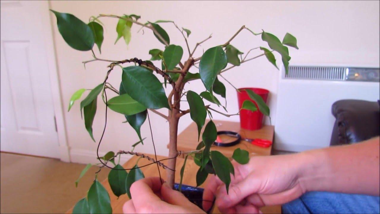Wiring A Ficus Bonsai Youtube