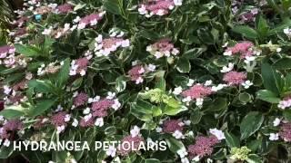 Hydrangea petiolaris. Garden Center online Costa Brava - Girona.(Hydrangea petiolaris. Garden Center online Costa Brava - Girona. Web: http://personalgardenshopper.es/, 2015-06-24T10:02:10.000Z)