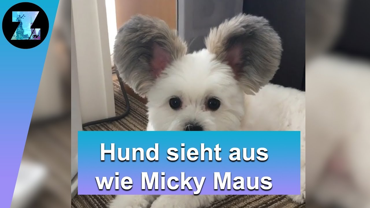 micky maus hund diese ohren gehen viral youtube. Black Bedroom Furniture Sets. Home Design Ideas