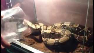 Karmienie wkurwionego węża