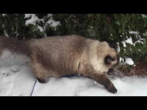 Holiday Special! Rare Snow Cat Caught On Film! Who Knew Ragdoll Rochelle Loved The Snow
