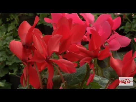 Como sembrar el Ciclamen o Violeta - planta de interior - Hogar Tv  por Juan Gonzalo Angel
