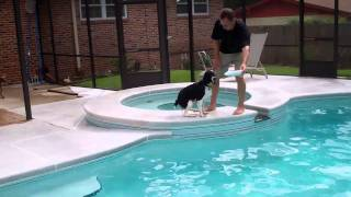Jake The English Springer Learning To Jump In The Pool