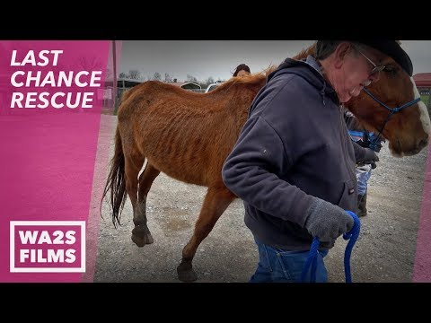 2 Abused Skinny Mardi Gras Parade Horses Saved! LAST CHANCE RESCUE Stories From The Devoted Barn