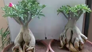 bonsai of adenium plant   care of adenium plant   begainer