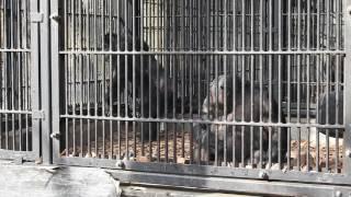 宇都宮動物園のチンパンジーのスペースがあまりにも狭い。 今4人のチン...