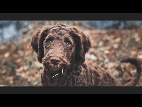 The Adventures of a Portuguese Water Dog Puppy