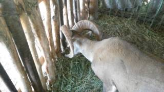 Гибриды архара и овцы! Hybrid of argali and sheep
