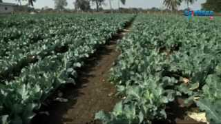 Cultivation of Cauliflower and its management - Paadi Pantalu