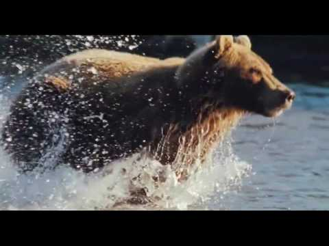 Вопрос: Чем отличаются бурые медведи от белых и других медведей?