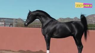 Самая красивая лошадь. Арабский скакун