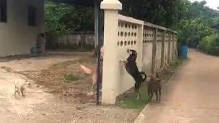 Funy animal fight