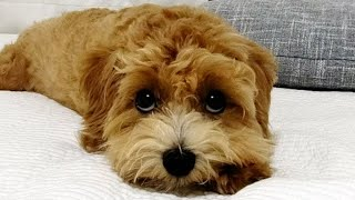 주인 칫솔 훔쳐서 양치하다가 걸린 강아지 | 칫솔 좋아…