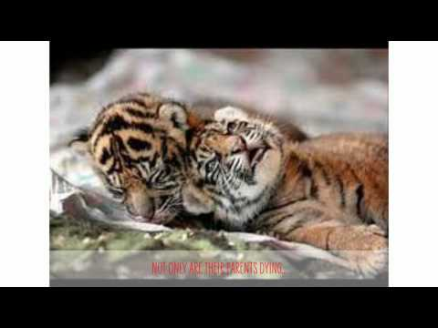 Poaching Tigers for Composition