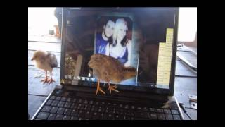 a baby chick chasing my mouse cursor lol