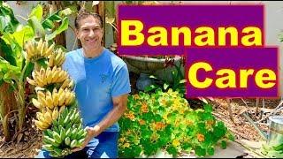 5 BANANA CARE TIPS   Harvesting, Cloning, Transplanting, Feeding & Mulching