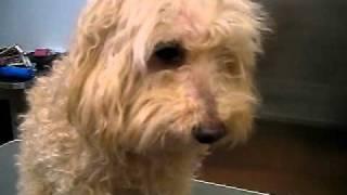 http://www.doggies.tv ルイ君は今回少し伸びていたのでスッキリカット☆...