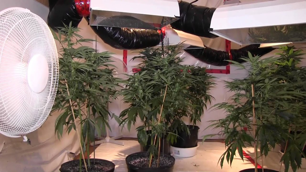 marihuana grow operation found in basement