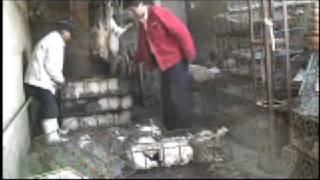 Undercover Investigation: Rabbit Fur Farming in China