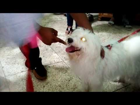 Lahsa Dog @ Vet in Dhaka City  @ Dr. Sagir's Pet Clinic 01912251312