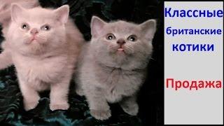 Лиловый и голубой. Британские котята