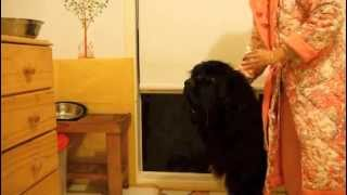 My Newfoundland Dog: Finally I can apply ear drop on Honeybun without a fight