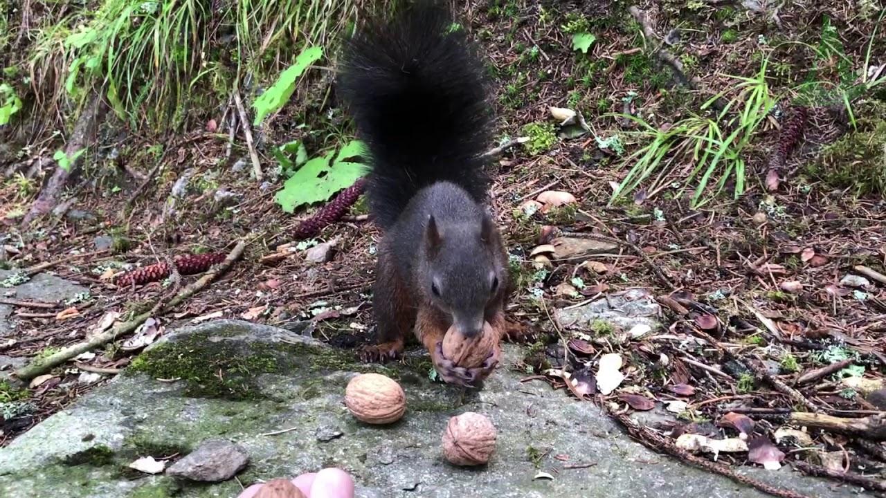 Bad Gasteiner Eichhörnchen 2019 Teil 1 - Bin wieder da
