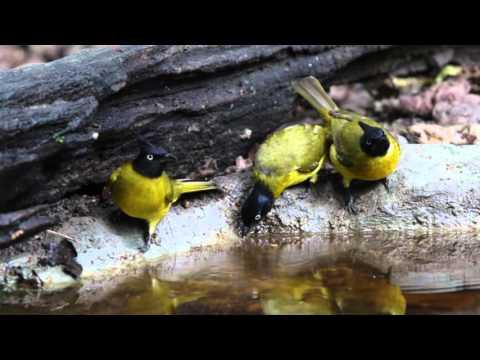 Black-Crested Bulbul (Lung Sin Waterhole) Thailand