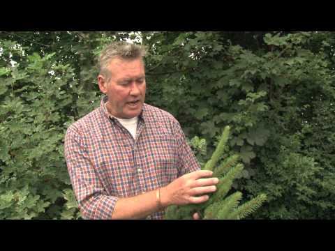 Identifying Norway Spruce