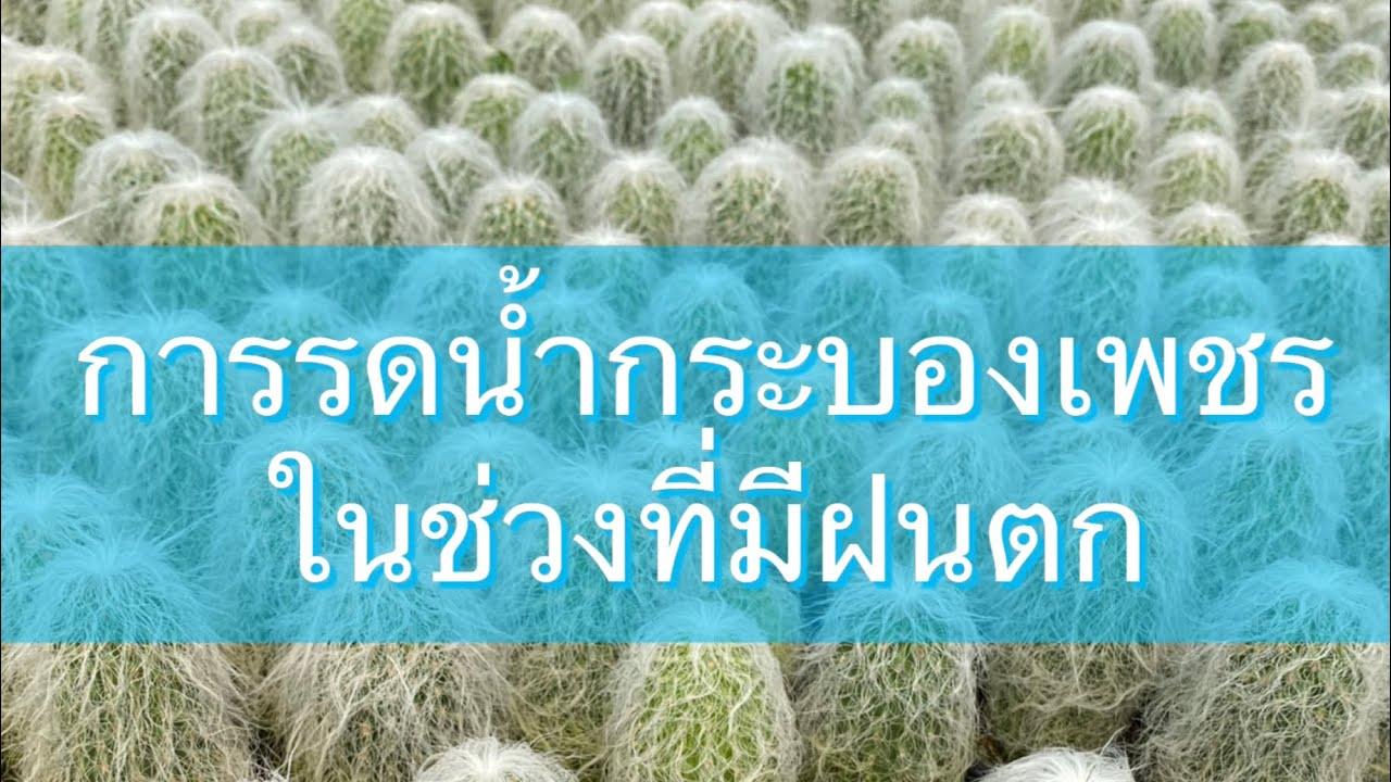 การรดน้ำกระบองเพชรในช่วงที่มีฝนตก ดินชื้น ดินไม่แห้ง ควรทำอย่างไร?  | PB CACTUS Channel