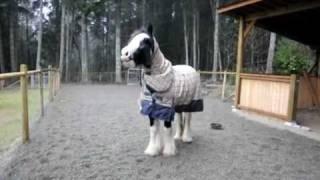 "Kazan the Gypsy Vanner vs the iPhone ""horse"" ringtone (1st video of 2)"