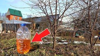 После зимы в марте- апреле обдайте этим сливу и вишню от всех вредителей и болезней! Слива и вишня.