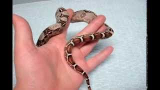 WALKING DEAD BABY RED TAIL BOAS FOR SALE!