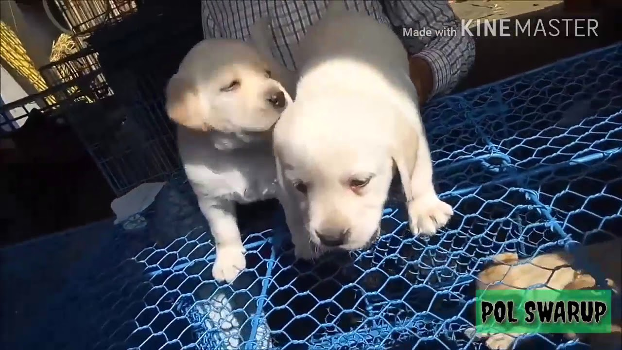 Labrador Puppies At Galiff Street Kolkata Cheap Price In India