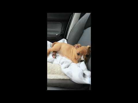 Amstaff puppy evolution 2-6 months