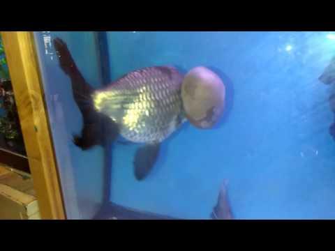 Giant Bubble Eye's Fancy Gold Fish