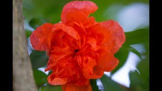 岡山いこいの村から眺める日の出、真っ赤なザクロの花、赤いバラの写真...