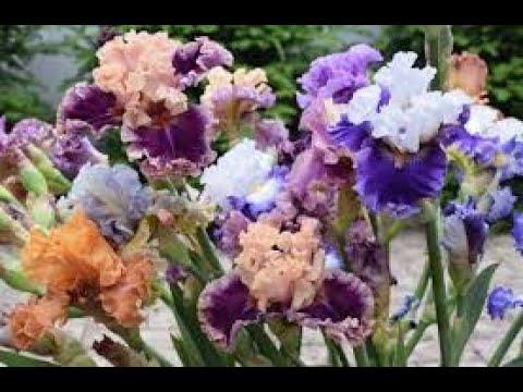 Божественная красота ИРИСОВ. Ирисы в моём саду Сорта и названия ирисов.The divine beauty of the IRIS